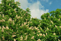 Free Chestnut Trees Stock Images - 14465644