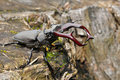 Free Stag Beetle Stock Images - 14468804