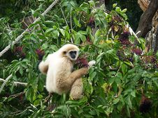 Free Lar Gibbon Stock Photography - 14460092