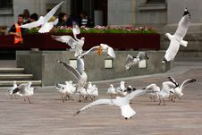 Free Seagulls Royalty Free Stock Images - 14460249