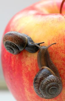 Free Snail Stock Image - 14460441