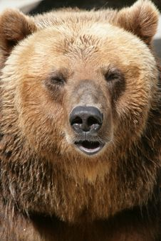 Free Portrait Of A Bear Stock Image - 14460771