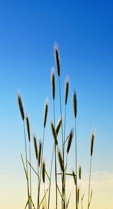 Free Elegant Grass Stock Photo - 14461010