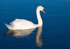 Free Swan With Reflections On A Clear Blue Lake Stock Photos - 14461583