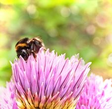 Bumblebee (Bombus) Stock Photography