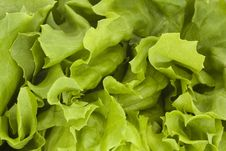 Free Close Up Of A Fresh Green Lettuce Royalty Free Stock Images - 14461979