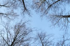 Birch Trees From Below Stock Photos