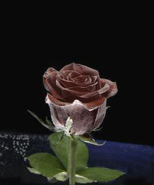 Free Rose In Space Royalty Free Stock Images - 14463039