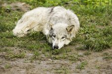 Free White Timber Wolf Lying Royalty Free Stock Images - 14463149