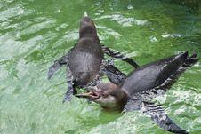 Two Penguins Swim Royalty Free Stock Photo