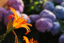 Free Orange Lilium In Evening Light Stock Photos - 14464083