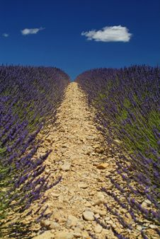 Free Lavender Fields In Provence France Royalty Free Stock Photos - 14464198