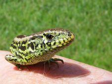 Portrait Of Lizard Royalty Free Stock Photo