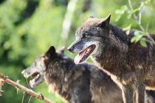 Free Timberwolf Stock Photos - 14464753