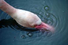 Free Flamingo Drinking Stock Images - 14464794