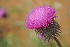 Free Close-up View To Blooming Burdocks Stock Photo - 14465280