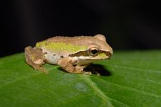 Free Tree Frog On Plumeria Stock Image - 14465561