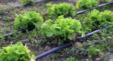 Free Lettuce Royalty Free Stock Photos - 14466118