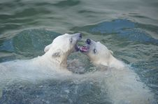 Free Two Polar Bears Royalty Free Stock Photography - 14466307