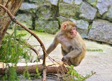 Free Monkey Royalty Free Stock Photos - 14466348