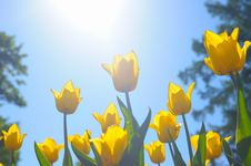Many Yellow Tulips Royalty Free Stock Images