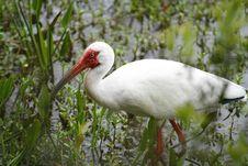 Free White Ibis Stock Image - 14466901