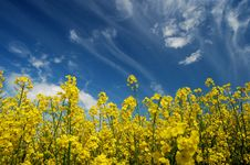 Free Field Of Oilseed Rape Stock Photography - 14468062