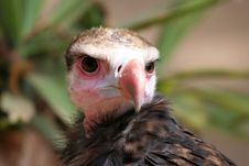 Vulture, Right In The Eyes Stock Photos