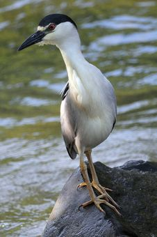 Free Black Capped Night Heron, Vertical Portrait Stock Images - 14468594