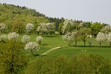 Free Cherry Trees In Spring, Hagen, Germany Royalty Free Stock Images - 14469689