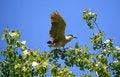 Free Black-crowned Night Heron Royalty Free Stock Images - 14472229