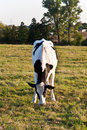 Free Cows At The Meadow Royalty Free Stock Photography - 14473087