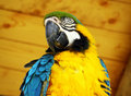 Free Blue And Yellow Macaw Parrot Royalty Free Stock Photography - 14474847