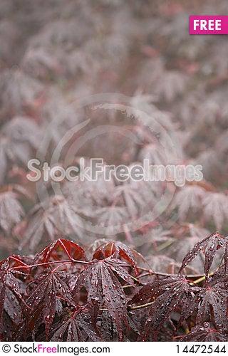 Free Japanese Maple Background Stock Images - 14472544
