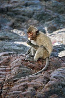 Free Monkey Stock Photos - 14470213