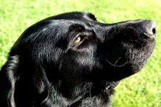 Free Black Labrador Retriever Stock Image - 14470801