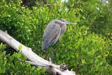 Free Great Blue Heron Royalty Free Stock Photography - 14471417