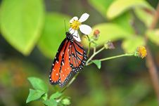 Free Monarch Butterfly Stock Photography - 14471452
