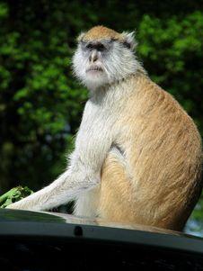 Free Monkey Stock Photo - 14471530