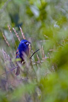Free Blue Grosbeak Royalty Free Stock Photography - 14471547