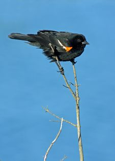 Red Winged Blackbird Perched Stock Photos