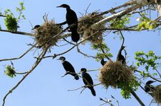 Free The Nestling Cormorants Stock Photos - 14471893