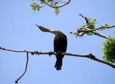 Free Cormorant Stock Images - 14471894