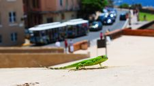Free Lizard On The Town Stock Photography - 14471902