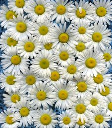 Free Wild Daisies Royalty Free Stock Images - 14471919