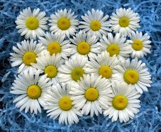 Free Wild Daisies Royalty Free Stock Photography - 14471927