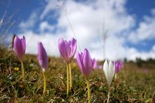 Free Crocuses Stock Images - 14472044