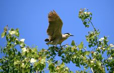 Free Black-crowned Night Heron Royalty Free Stock Images - 14472229