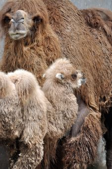 Camel Mother And Kid Royalty Free Stock Photos