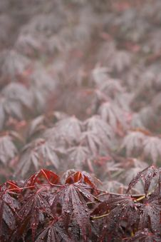Japanese Maple Background Stock Images